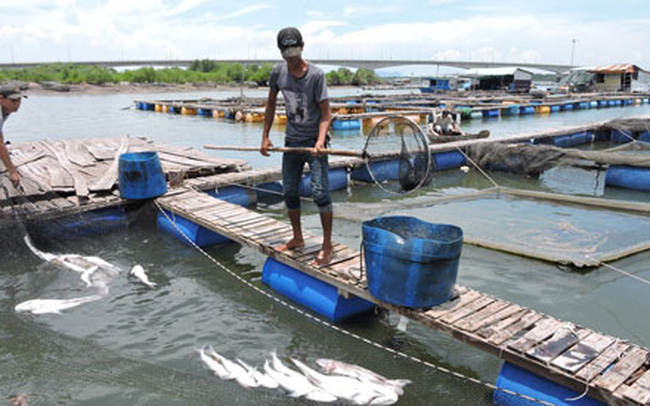 Bà Rịa - Vũng Tàu: Ngư dân thiệt hại hơn 8 tỉ đồng vì cá chết trắng bè