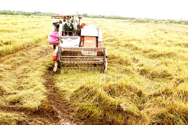 Giá lúa và gạo nguyên liệu xuất khẩu tăng trở lại