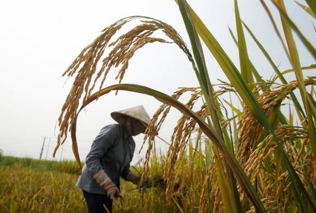 Giá gạo sẽ bình ổn trở lại sau những ảnh hưởng từ chương trình trợ giá của Thái Lan