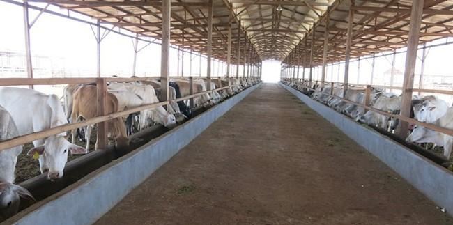 HAGL thu về 2.500 tỷ đồng trong năm đầu tiên chăn nuôi bò