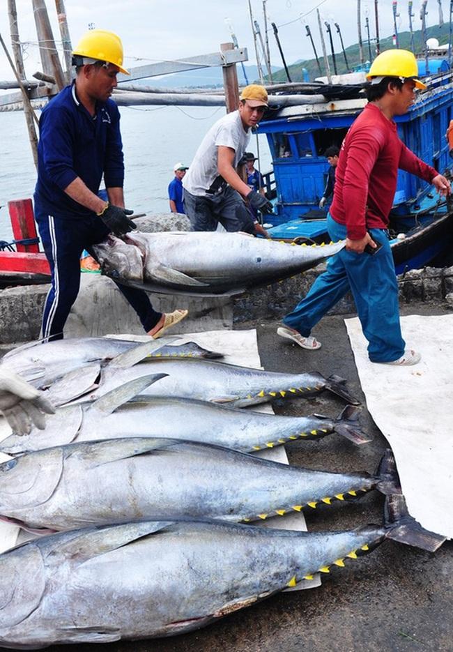 """Đánh bắt, chế biến chưa đúng """"chuẩn"""", cá ngừ mất giá tới 6 lần"""