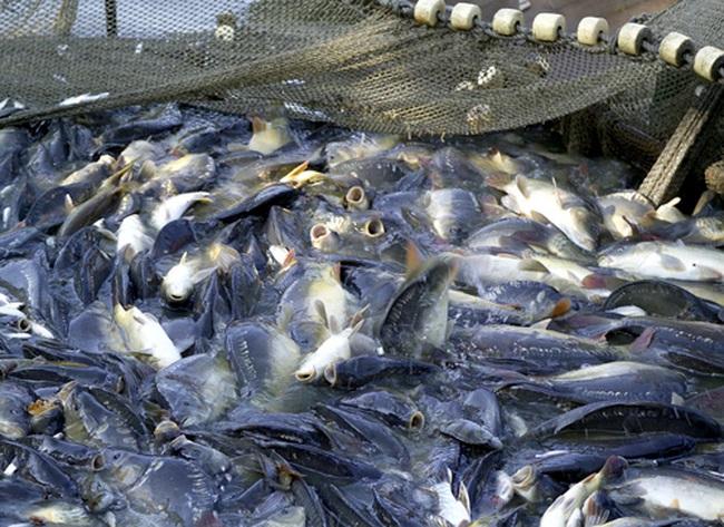Xuất khẩu cá tra sang các thị trường chính đều sụt giảm