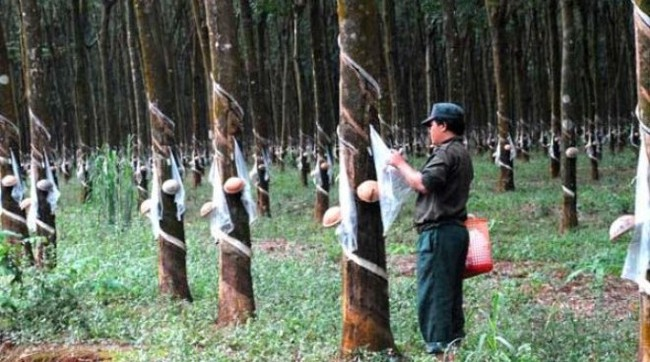 Cao su Tây Ninh: Vượt chỉ tiêu SXKD năm 2015, dè dặt đặt mục tiêu 2016
