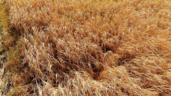 Sau hạn mặn, nông dân lúng túng chọn lúa hay tôm