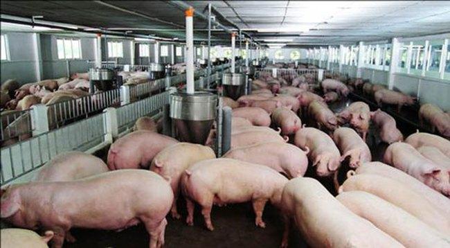 Chất cấm trong chăn nuôi đã giảm