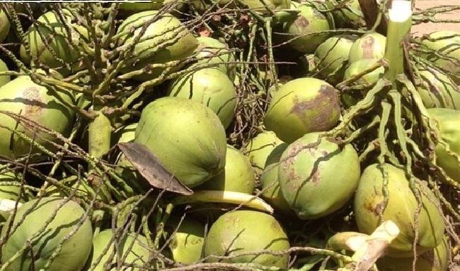 Xuất khẩu nước dừa, tiềm năng không nhỏ