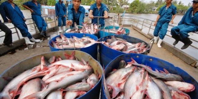 Thương lái Trung Quốc gian manh, người dân nuôi cá tra điêu đứng