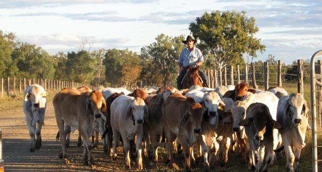 Úc tạm ngưng xuất trâu, bò sang Việt Nam