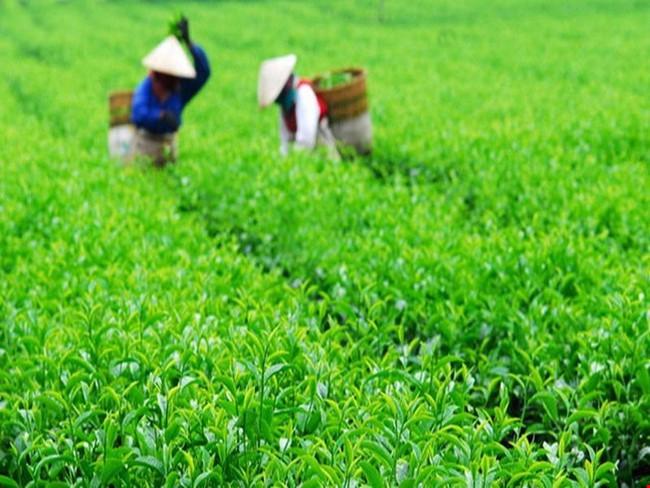 Chè xanh Việt Nam chinh phục thị trường Bắc Mỹ