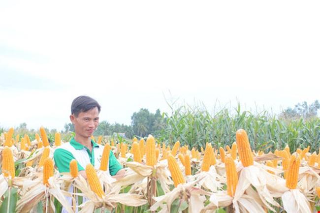 Việt Nam nhập khẩu 1.000 tấn hạt giống bắp biến đổi gen