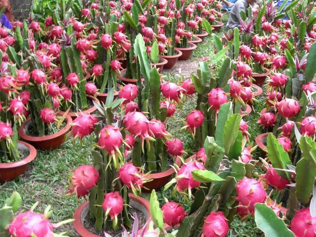 Úc bắt đầu quy trình đánh giá trái thanh long Việt Nam