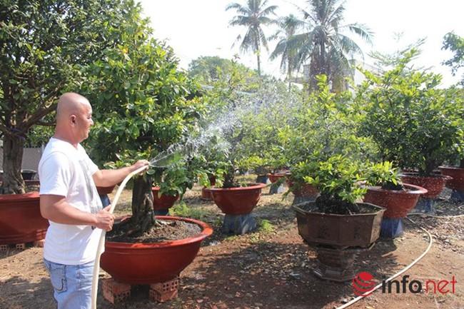 TP.HCM: Nỗi lo của các chủ vườn mai khi ngày tết cận kề