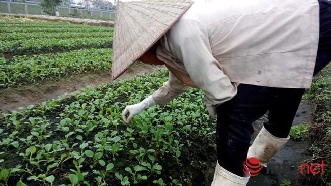 """Vùng rau an toàn lớn nhất Hà Nội: Giật mình """"không ai kiểm soát"""""""