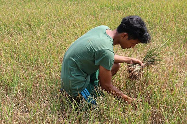Dồn sức bảo vệ diện tích lúa chưa thu hoạch và vườn cây ăn trái
