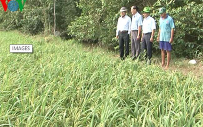 ĐBSCL tìm giống lúa có khả năng chống chịu với hạn, mặn