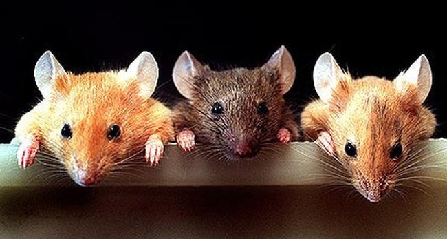Kết quả hình ảnh cho định nghĩa con chuột