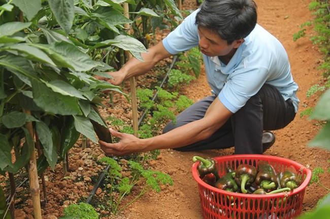 """Vườn ớt """"khủng"""" cho thu nhập cao tại Đà Lạt"""