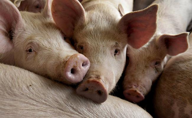 """Từng bị ví von là """"Thịt Lợn Thiu"""", cổ phiếu Upcom này đã tăng gấp cả chục lần"""
