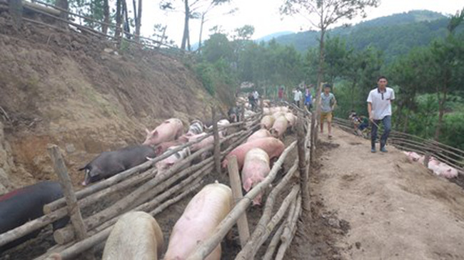 Tái xuất khẩu lợn hơi sang Trung Quốc