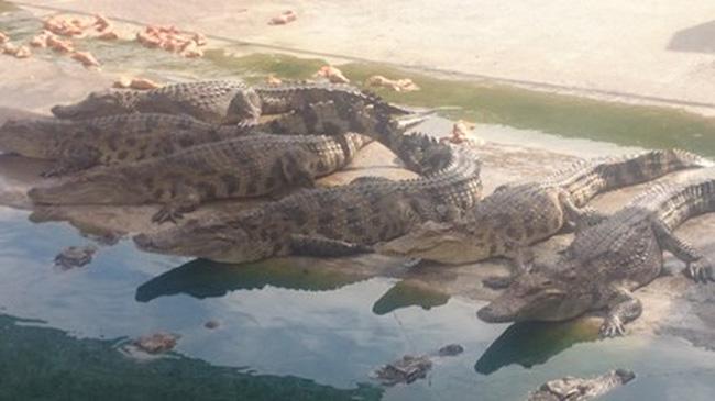 'Ôm' cá sấu chờ thời