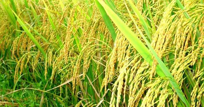 Nông nghiệp Cần Thơ (TSC) hoãn kế hoạch tăng vốn thêm gần 600 tỷ