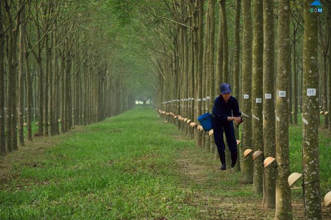 Cao su Phước Hòa: Lãi ròng 215 tỷ đồng, giảm 19% so với năm 2014