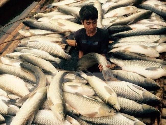 Thực hư thông tin cá chết hàng loạt ở Lý Sơn do bị đầu độc