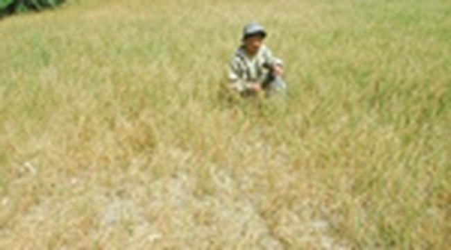 Hạn mặn khiến giá gạo sẽ tiếp tục đứng ở mức cao