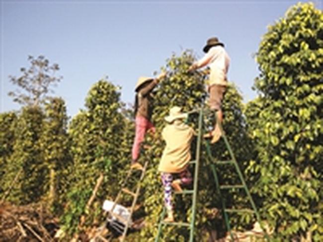 Bất chấp khuyến cáo, nông dân Đăk Lăk ồ ạt mở rộng diện tích hồ tiêu