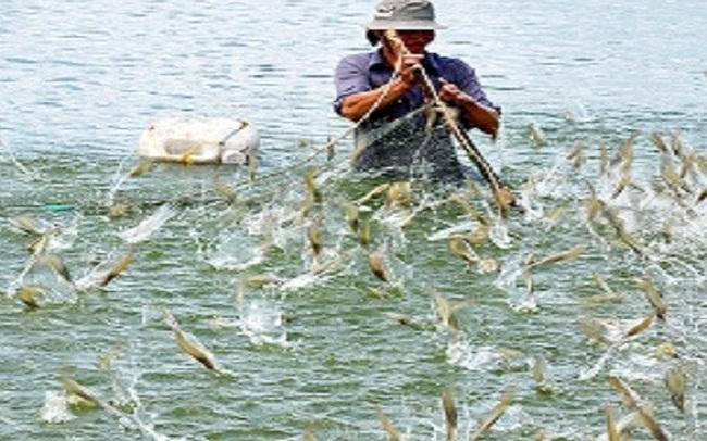 Giá trị nuôi tôm nước lợ đang tăng