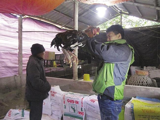 Giá gà Đông Tảo tăng mạnh dịp giáp tết