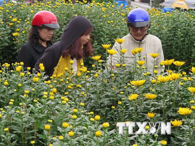 Thiếu nguồn cung, hoa cúc tại thành phố Đà Lạt tăng giá