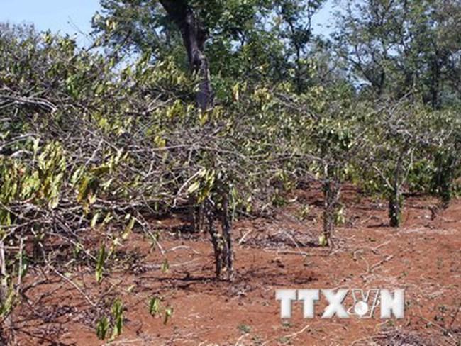 Giải pháp chống hạn cho càphê, hồ tiêu ở Đông Nam Bộ và Tây Nguyên