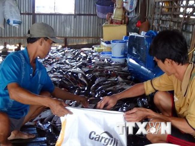 Hiện tượng cá chết hàng loạt tại An Giang tiếp tục lan rộng