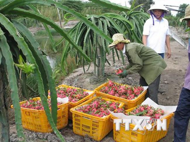 Australia bắt đầu xem xét nhập khẩu thanh long tươi của Việt Nam