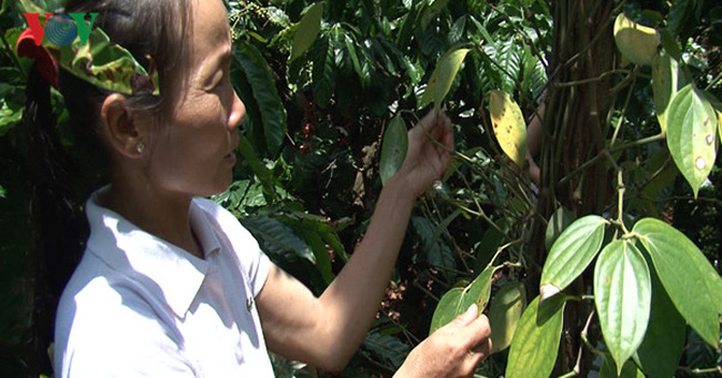 Hồ tiêu của người dân bị rụng lá, rụng quả non vì chất diệt cỏ?