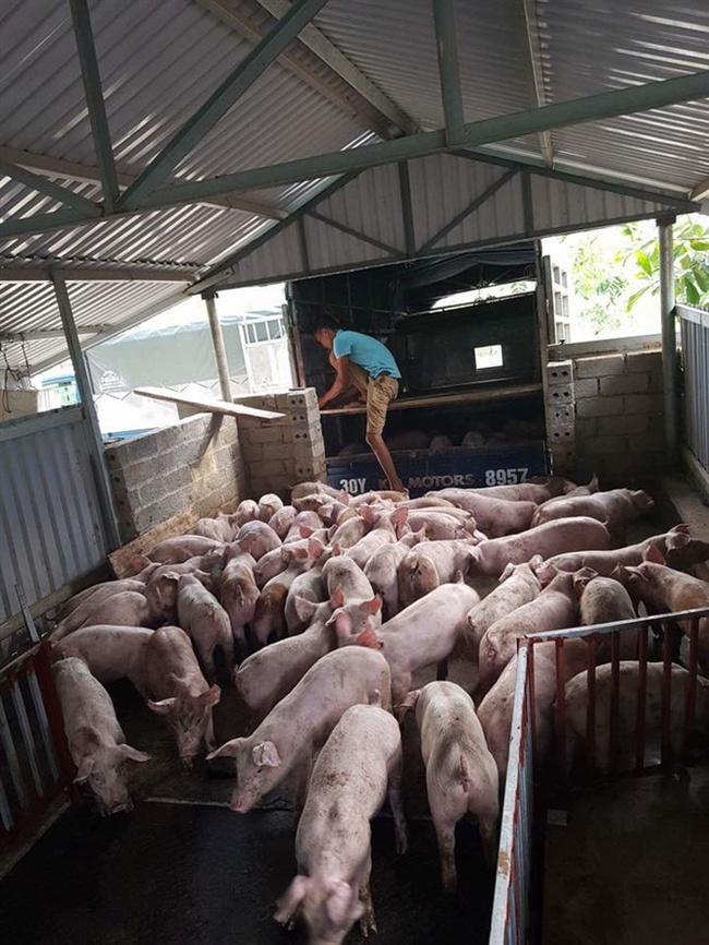 Bình tĩnh để tránh bị hớ trong đàm phán xuất khẩu thịt lợn