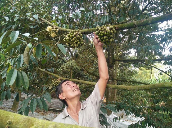 Sầu riêng - trái cây bạc tỷ - ảnh 1