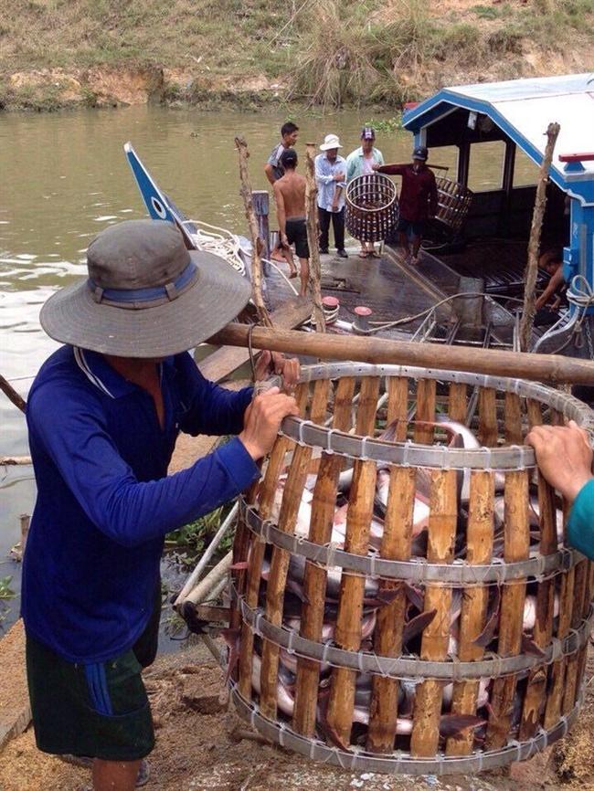 Giá cá tra tăng, người nuôi lãi 1,5 - 1,7 triệu đồng/tấn