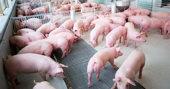 Nhu cầu từ Trung Quốc không ổn định, giá lợn hơi vẫn lại xuống dưới 30 nghìn đồng/kg