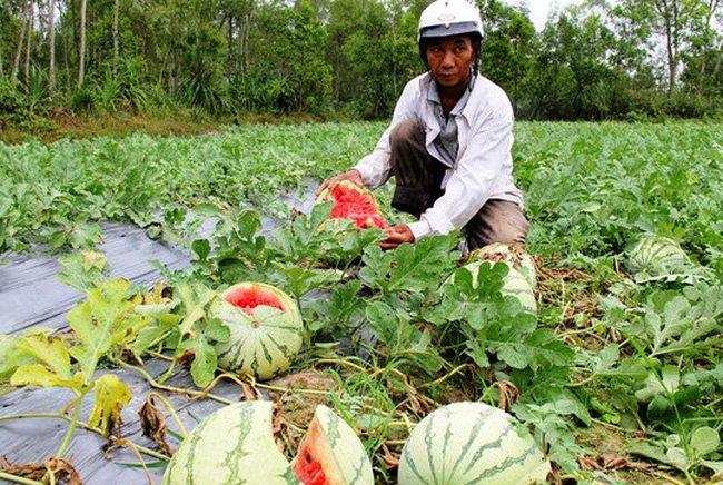 Trung Quốc ngừng mua, nông sản Việt 'vỡ trận' mất giá