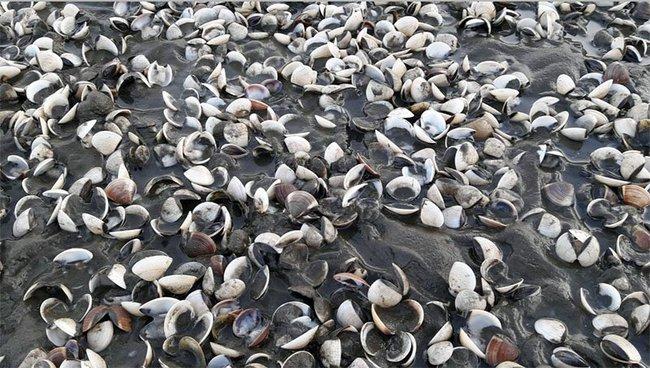Cá, nghêu chết hàng loạt ở Kiên Giang do hoá chất công nghiệp?