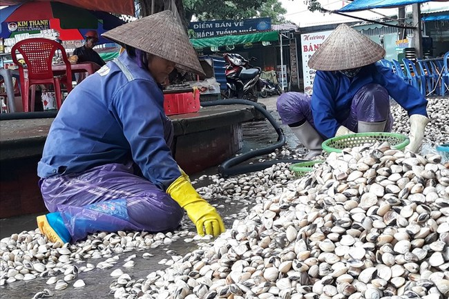 Hải Phòng: Ngư dân nuôi ngao thu tiền tỷ mỗi năm