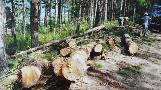 Lỗ lớn, nợ nhiều, Giấy Tân Mai muốn chuyển nhượng hàng ngàn hecta rừng ở Lâm Đồng - ảnh 1