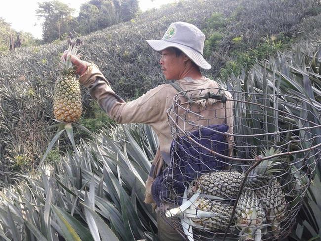 Nông dân Quảng Nam trúng mùa dứa chín