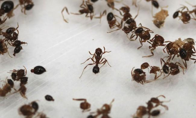 Cổ phiếu lập đỉnh 30 năm nhờ... những con kiến lửa
