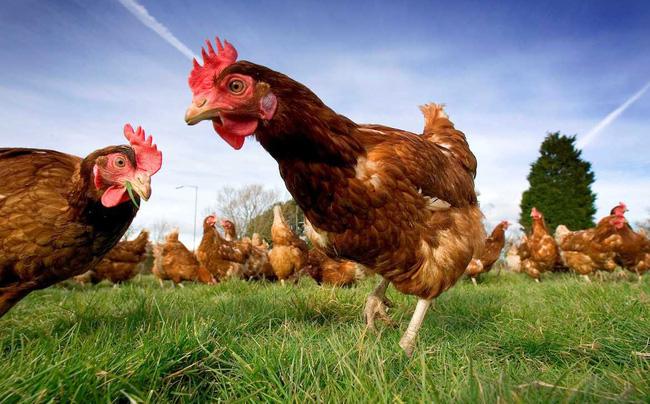 Năm gà, chuyện về doanh nghiệp chăn gà số 1 trên TTCK Việt Nam