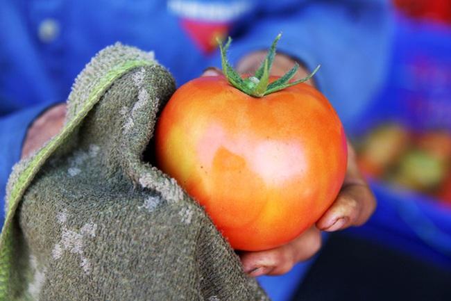 Vườn cà chua Nhật Bản siêu khủng ở Lâm Đồng