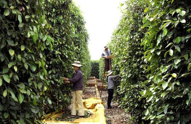 Đẩy mạnh sản xuất bền vững để cứu ngành hồ tiêu