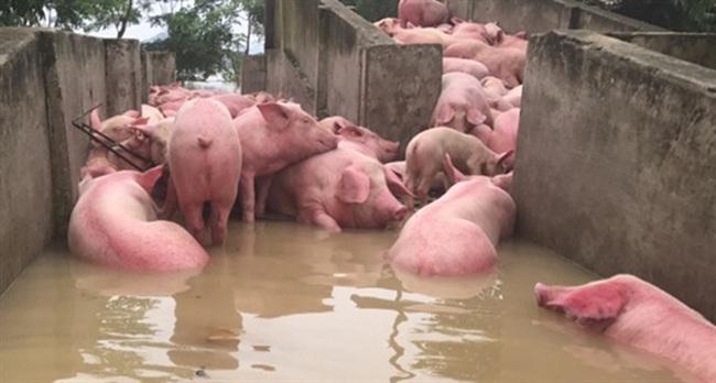 Số lượng lợn chết trong trại bị ngập lụt tăng lên 6.000
